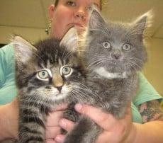 Kittens Available For Adoption Rutland County Humane Society