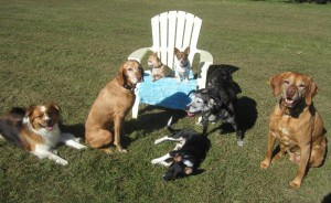 Cubby, Lupie, Mamacita, Pogo, Tawnie and their Vizsla siblings
